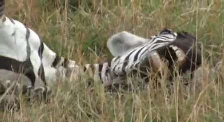 zebra death throes e